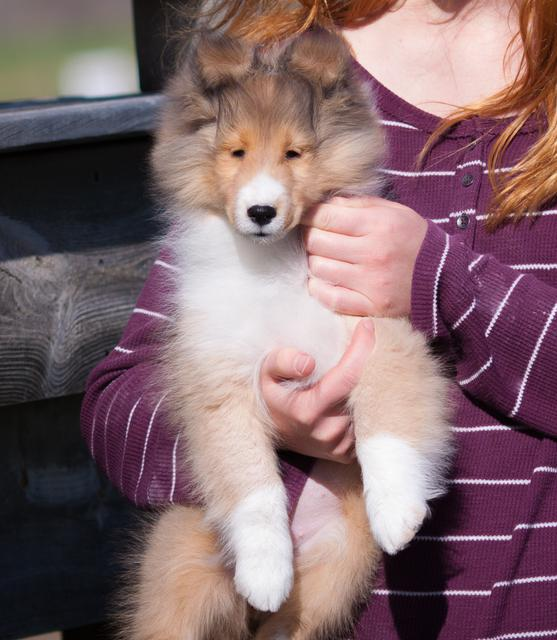SHELTIES AVAILABLE